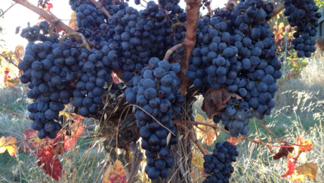 Grapes for the Picking